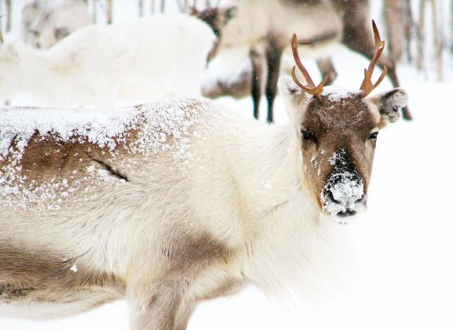 Reinsdyr som hovedingrediens. CC-foto: Antti T. Nissinen